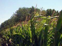 rain \ crops \ barley \ corn \ farmers \ farming \ ranching
