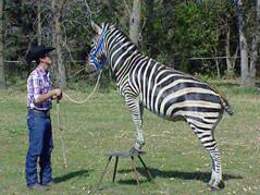 Jared Lynch zebra Kenya does tricks