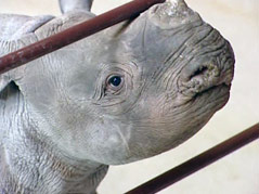 great plains zoo baby rhino