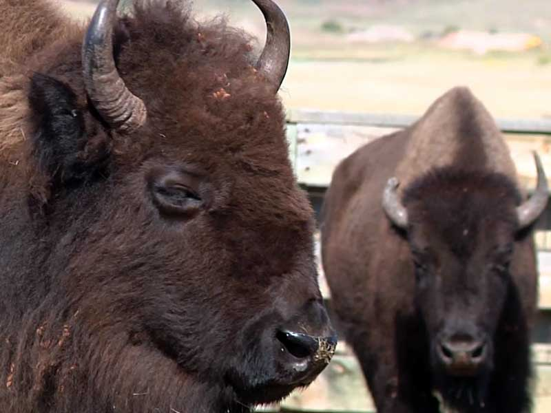 custer state park buffalo roundup september