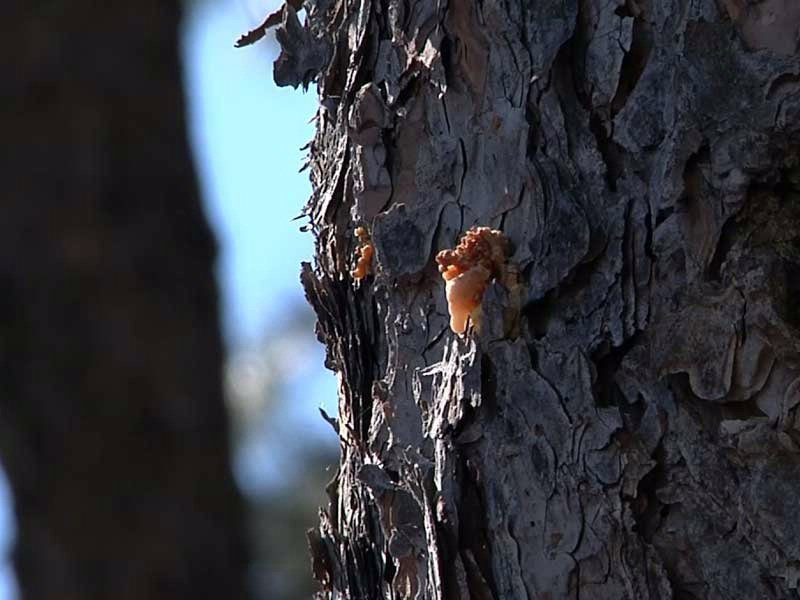 pine beetle black hills damage trees