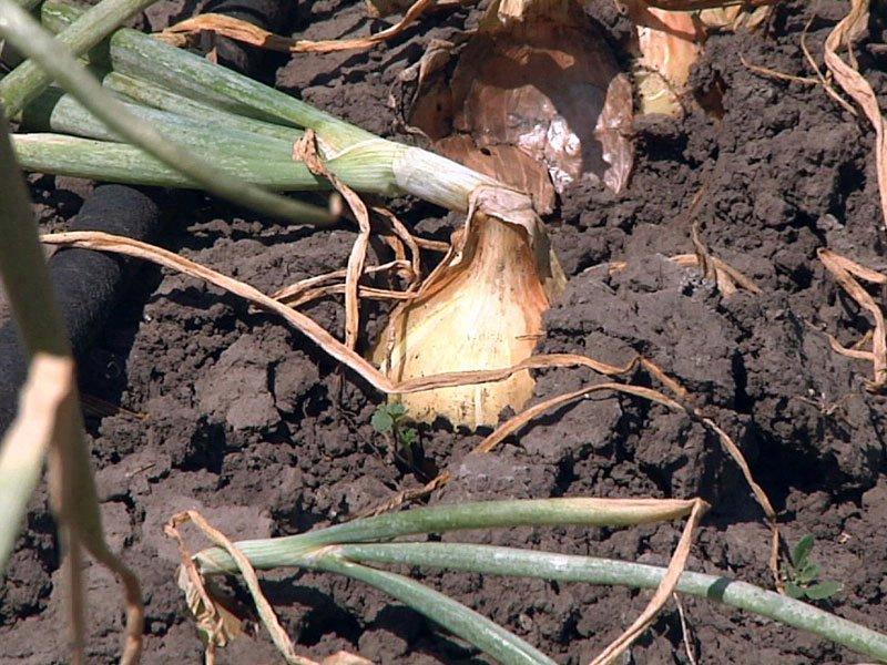 dry month of june vermillion crops plants growth garden