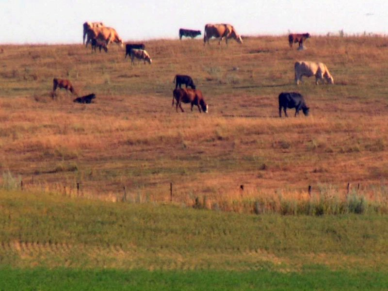 cattle in dry field