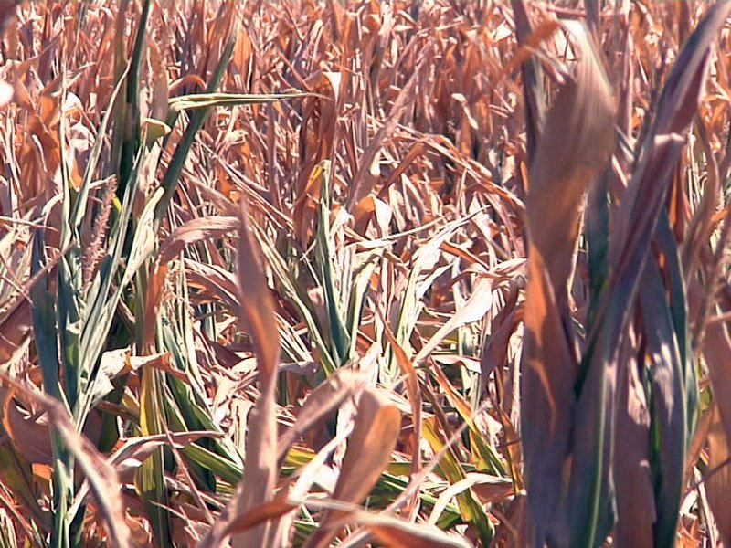 dry crops drought