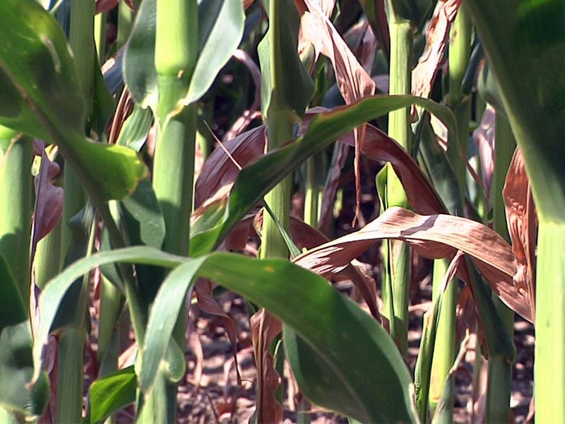 drought dry crops