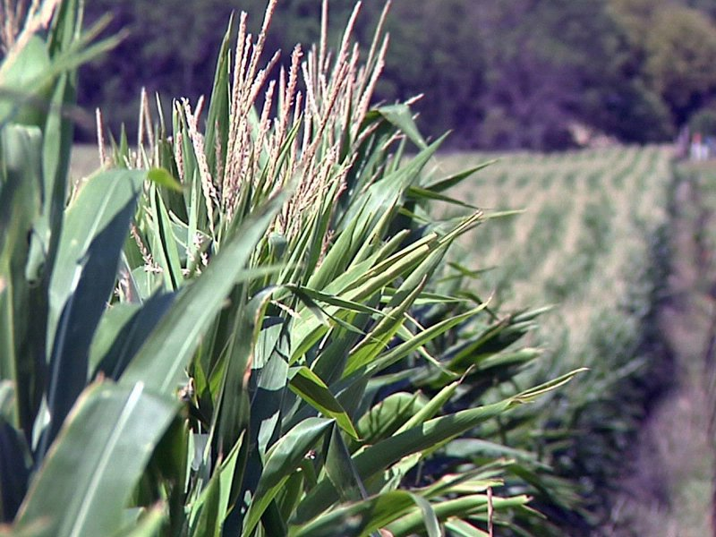 corn crop salem farmer gets rain crop doing well agriculture