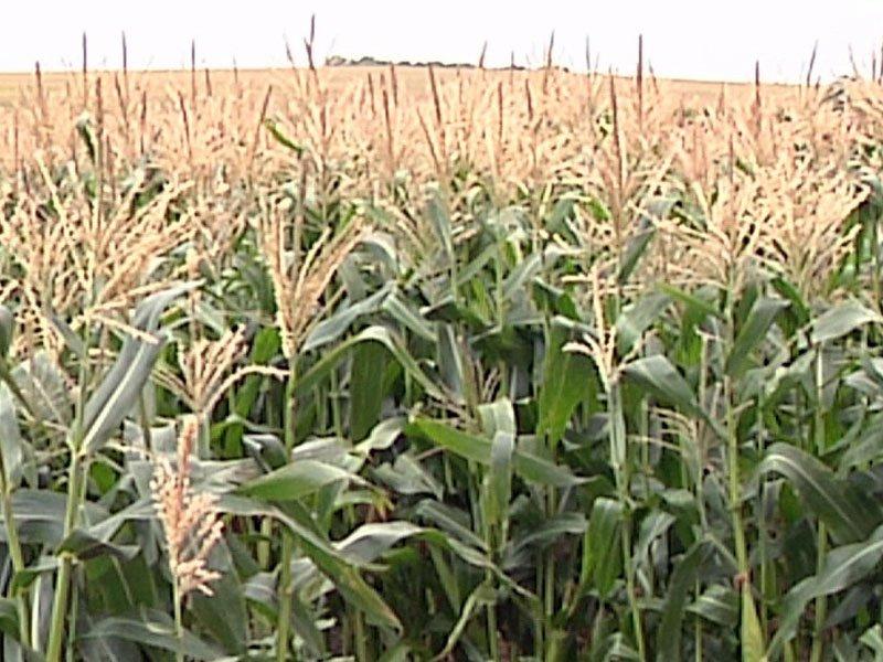 farmers markets crops corn