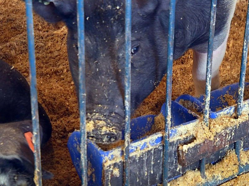 Turner County fair pigs hogs livestock