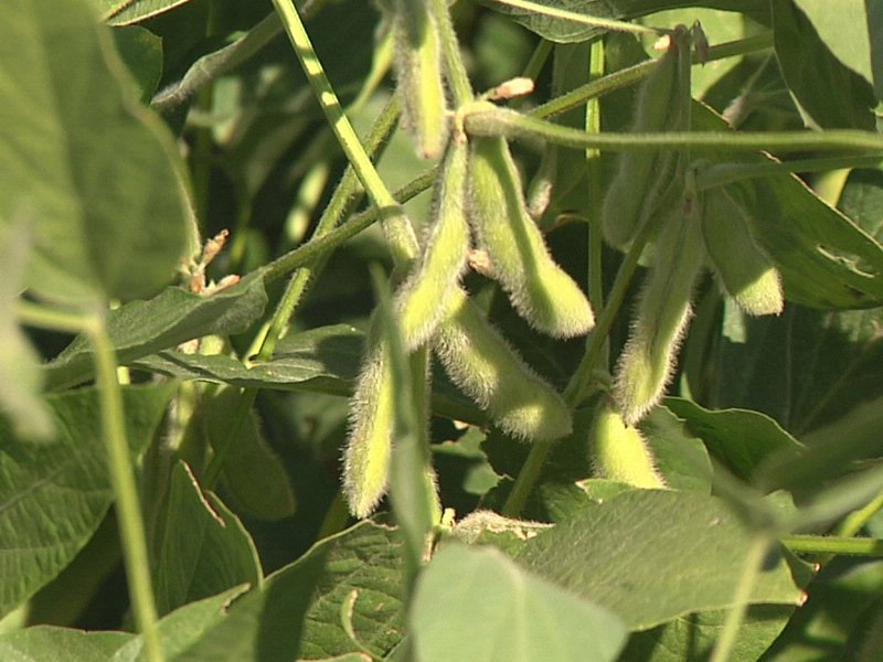 soybeans crop drought advice at dakotafest agriculture field