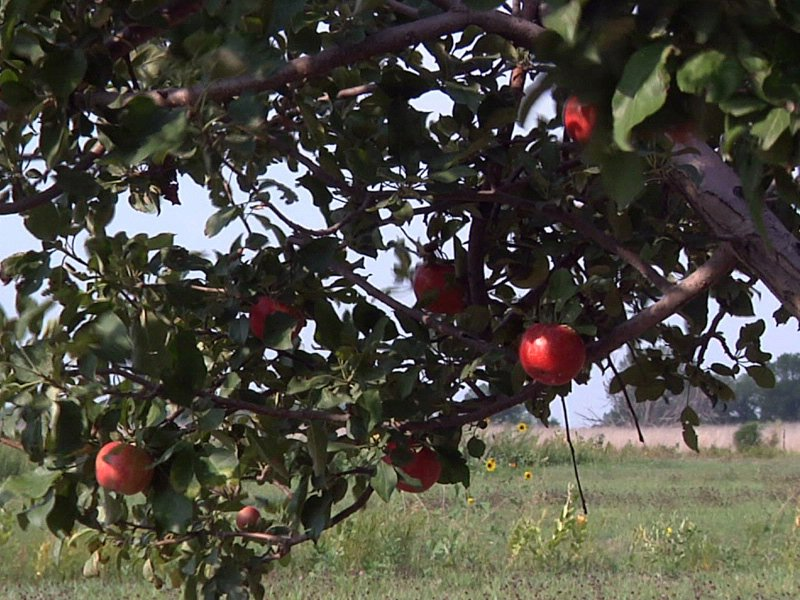 country apple orchard apples ready early