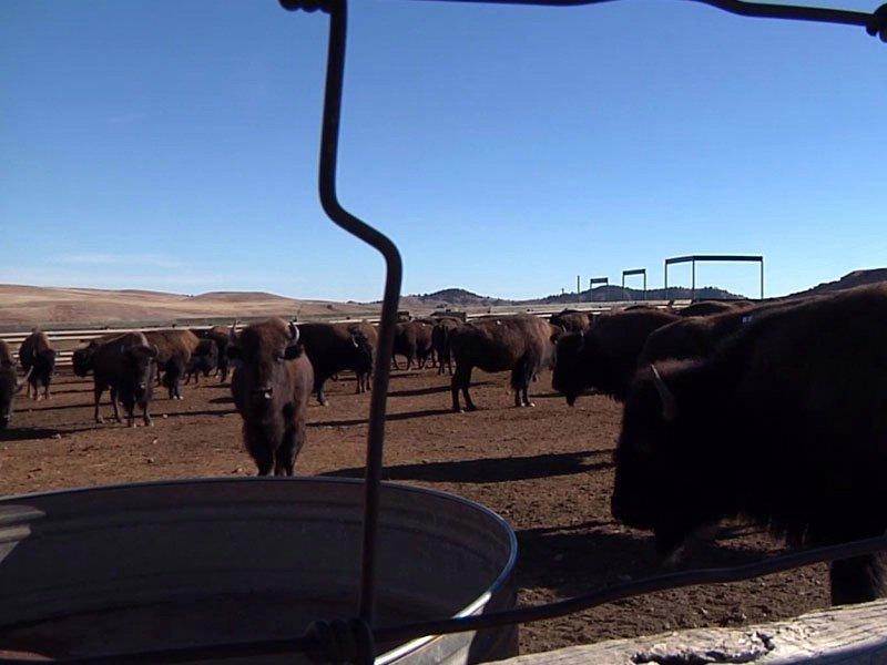 buffalo sale