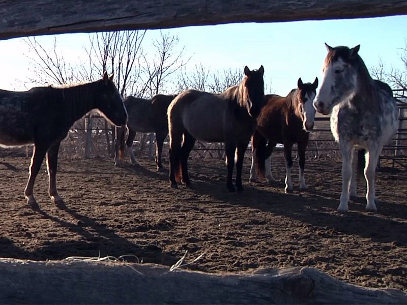 69 horses in rapid city abused
