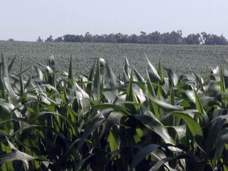 crops corn farm summer