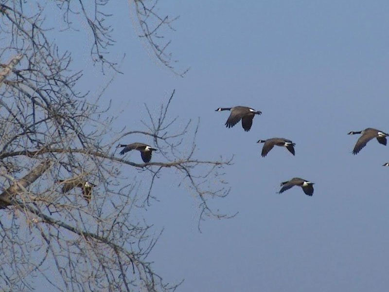 geese december weather