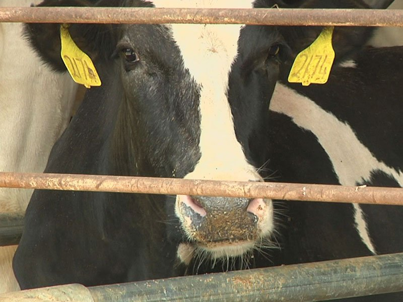 cow dairy generic farm markets royalwood brandon