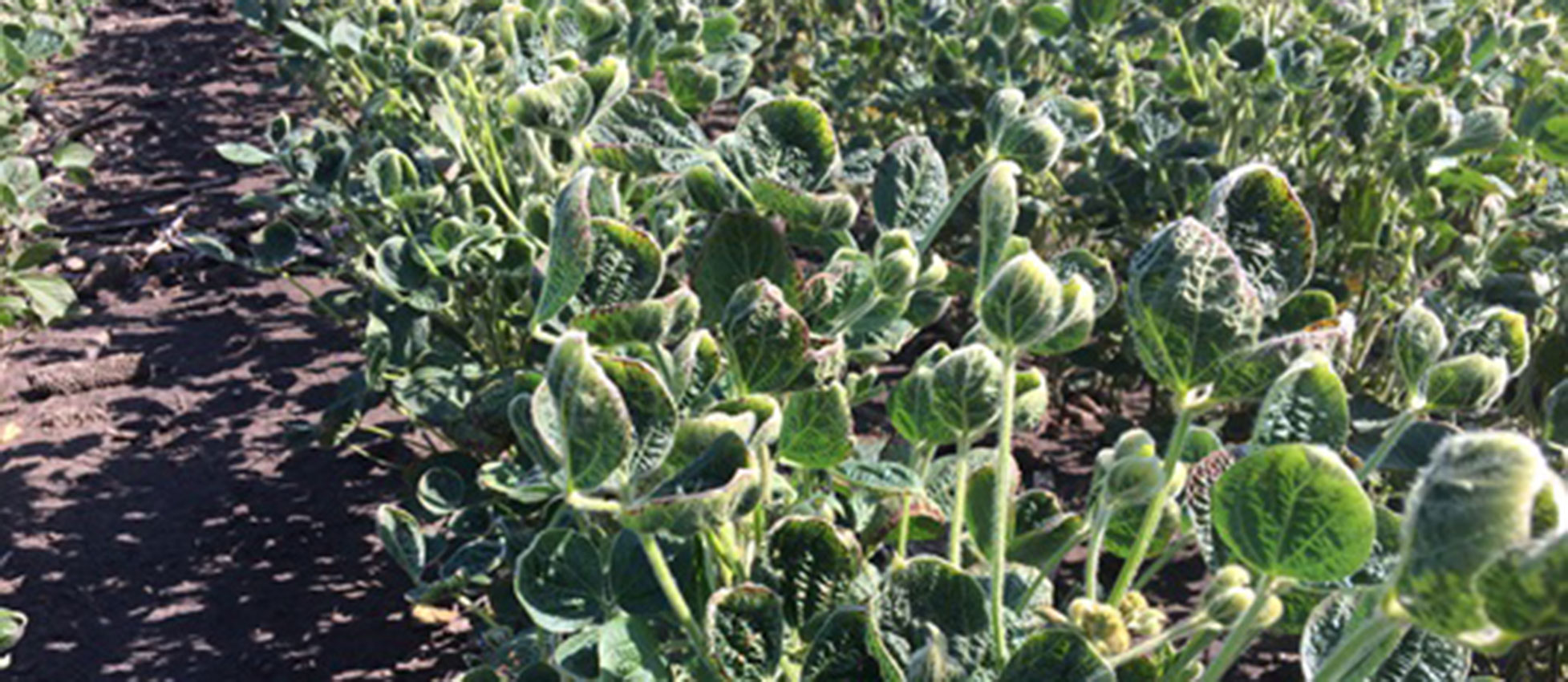 Dicamba damaged soybeans from SDSU Extension