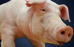 South Dakota Officials Reconsider Hog Operation