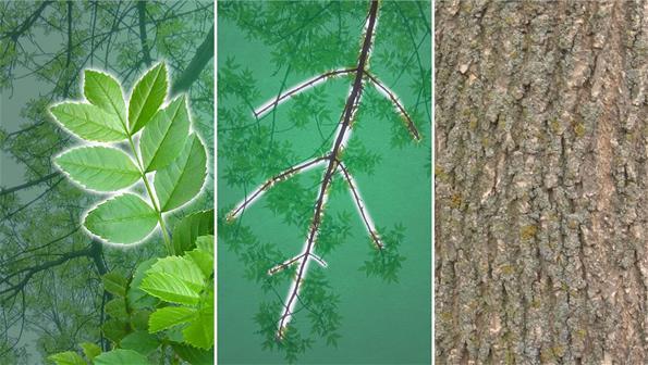 Identifying Ash Tree