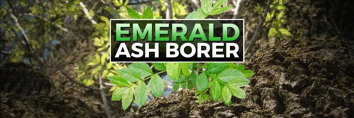 Emerald Ash Borer header