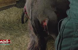 What Happened To Pedro? Reasons For Donkeys Injuries Unclear