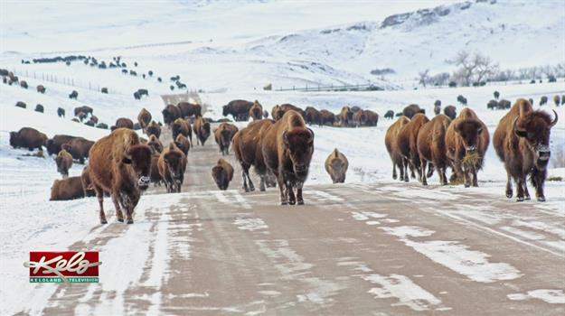 Bison Released At Custer State Park