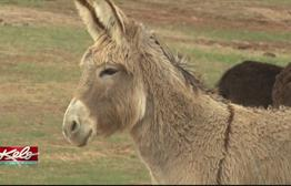 Burros Return Home To Custer State Park