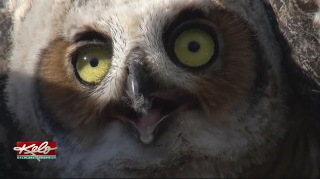 Owl Released Back Into The Wild